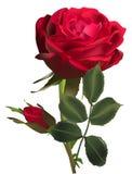 Mörker - röd rosblomma och en knopp som isoleras på vit Royaltyfri Fotografi