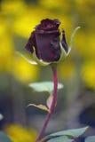 Mörker - röda Rose Bud Arkivfoto