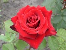 Mörkröd rosblomma Royaltyfria Bilder