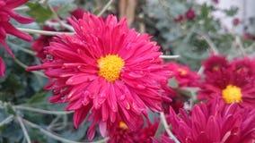 Mörkröda blommor Arkivbild