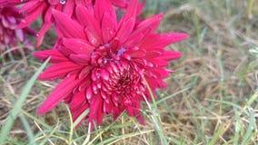 Mörkröda blommor Royaltyfria Bilder