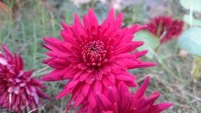 Mörkröda blommor Fotografering för Bildbyråer