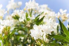 Mörkret - blåa vårhimmel och moln ovanför vita blommor för ett fält, Royaltyfri Bild
