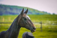 Mörkt brunt hästanseende i en paddock royaltyfri foto