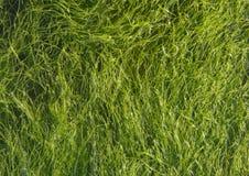 mörkt - grön seaweed royaltyfria bilder