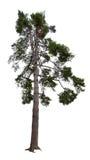 Mörkt - green sörjer treen som isoleras på white Arkivfoton