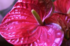 Mörkt - röd Anthuriumblomma royaltyfri foto