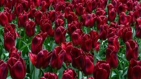 Mörkt - röda purpurfärgade tulpanblommor i vårträdgård arkivbilder