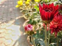 Mörkt - rött växa för dahliablommor i trädgård i vinter arkivbild