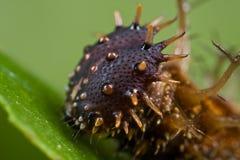 mörkt spiny för brun caterpillar Royaltyfri Fotografi