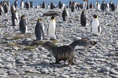 Möte av en skyddsremsa och konungpingvin Fotografering för Bildbyråer