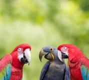 möte av papegojan Royaltyfri Foto