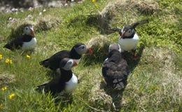 Möte för atlantiska lunnefåglar fotografering för bildbyråer