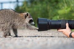 Möte för slut för naturfotograf` s med tvättbjörnen Royaltyfria Foton
