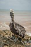 Möte med pelikan Royaltyfria Bilder