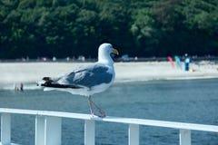 Möve auf dem Meer Lizenzfreie Stockfotografie