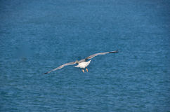 Möve fliegt in dem Meer Lizenzfreies Stockfoto