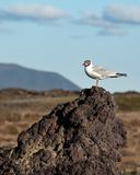 Möve in Namafjall Island lizenzfreie stockfotos