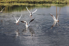 Möven auf dem Wasser und über dem Wasser lizenzfreies stockfoto