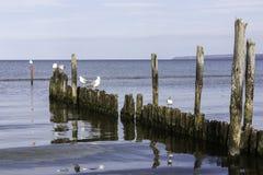 Möven, die auf einem alten gebrochenen Pier in der Ostsee Deutschland stillstehen, lizenzfreie stockfotos