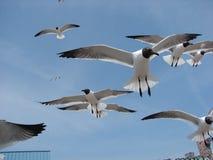 Möven, die schnell fliegen stockfoto