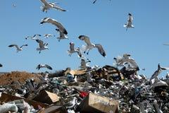 Möven am Dump Lizenzfreies Stockfoto