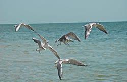 Möven fliegen über ein Meer Stockfoto