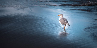 Mövenozeanvogel im Wasser lizenzfreie stockbilder