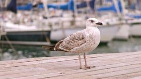 Mövenstellung auf dem Pier gegen unscharfe Segelboote stock footage
