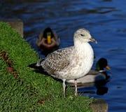 Mövenvogel, der auf Gras neben Wasser steht Lizenzfreies Stockfoto