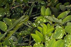 Rain on leaves Møn, Denmark royalty free stock photography
