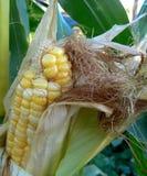 Mún día del pelo del maíz Fotos de archivo