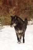 Mún lobo grande fotos de archivo libres de regalías