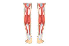 Músculo da vitela do ser humano Imagem de Stock