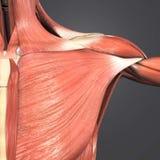 Músculo del músculo pectoral mayor fotografía de archivo libre de regalías