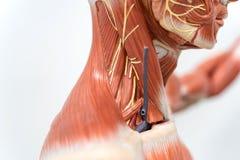 Músculo humano del cuello para la educación fotos de archivo