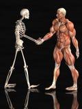 Músculo y sistemas esqueléticos Fotos de archivo