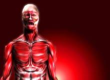 Músculos 12 Imagem de Stock