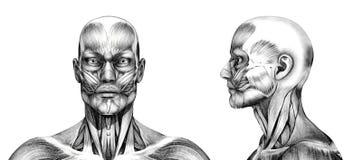 Músculos da cabeça - estilo do desenho de lápis ilustração stock