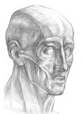 Músculos del ejemplo de la cabeza humana Fotografía de archivo libre de regalías