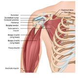 Músculos del ejemplo médico del hombro y del brazo 3d en el fondo blanco ilustración del vector