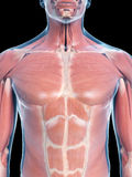 Músculos del tórax Foto de archivo