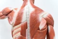 Músculos do modelo traseiro para a educação da fisiologia fotografia de stock royalty free