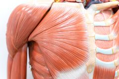 Músculos do ombro para a educação da fisiologia fotografia de stock royalty free