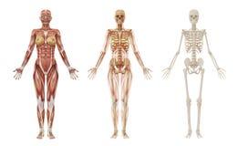 Músculos e esqueleto humanos fêmeas ilustração stock
