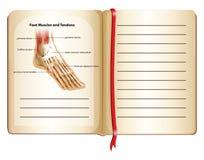 Músculos e tendões do pé na página Fotos de Stock Royalty Free