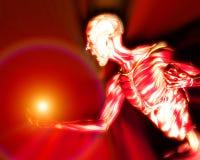 Músculos en el cuerpo humano 14 Fotografía de archivo