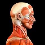 Músculos faciales laterales laterales de la cara Imagen de archivo libre de regalías