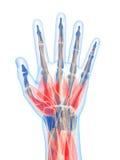 Músculos humanos destacados da mão ilustração royalty free