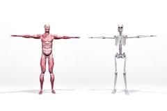 Músculos y esqueleto ilustración del vector